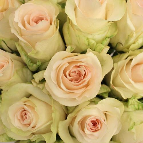 Senorita Blush Roses