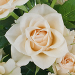 Light Peach Pink Novelty Spray Rose
