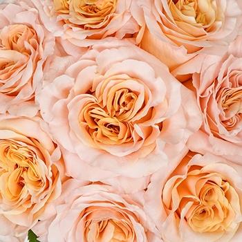 Shimmer Peach Rose