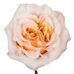 Shimmer Peach Rose for weddings
