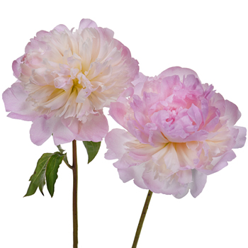 Shirley Temple Peonies for May