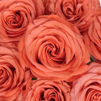 Cosmopolitan Coral Rose
