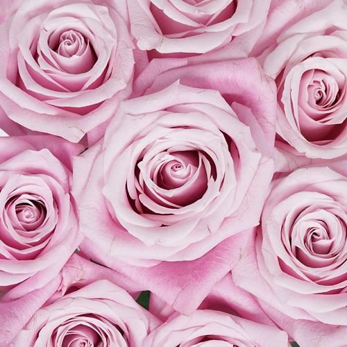 Bashful Pink Rose