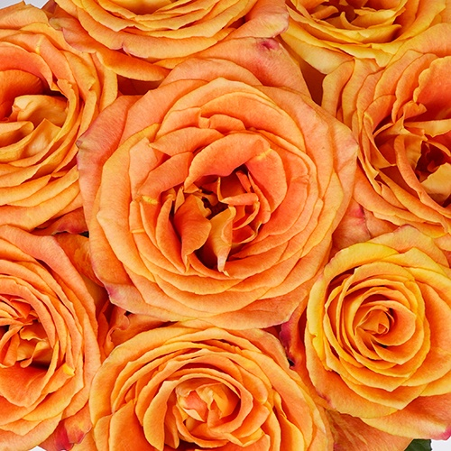 Silantoi Sunset Rose