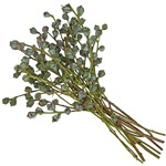 Scotchbroom - Buy Bulk FREE SHIPPING!