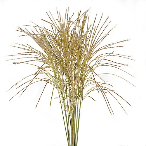 Silver Feather Fountain Grass