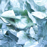 Tinted wedding greenery silver painted lemon leaf sold near me as bulk