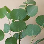 Silver Dollar Eucalyptus Greens
