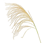 Single stem of silver feather fountain grass filler flowers sold for delivery