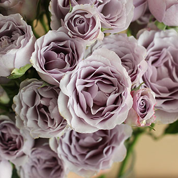 Silver Mikado Lavender Roses up close
