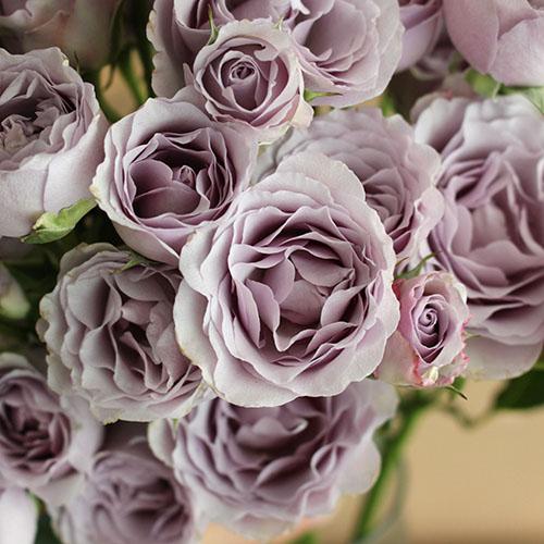 Silver Mikado Lavender Roses up close