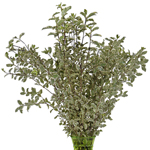Wholesale greenery mini variegated pittosporum filler flower bunch