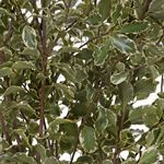 Wedding greenery mini variegated pittosporum sold near me