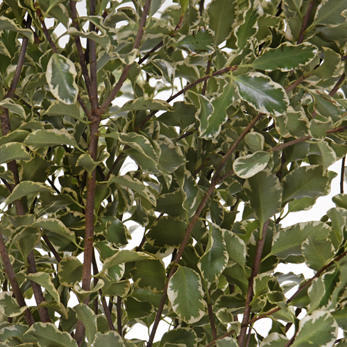 Mini Variegated Pittosporum Greenery