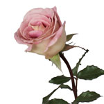 Pink Intuition Pink Rose