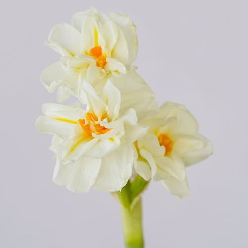 Honey Dipped Daffodils