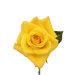 Yellow Rose Skyline