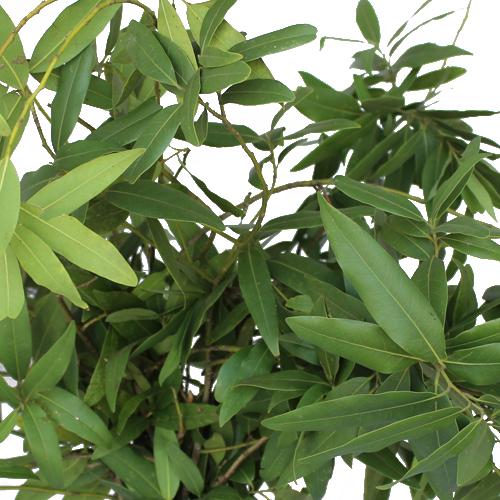 Fresh Fall Bay Leaf Greens