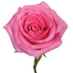 Bulk Rose Geraldine Light Pink
