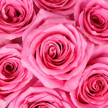Pink Punch Rose