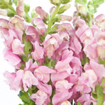 Fresh Cut Light Pink Snapdragon