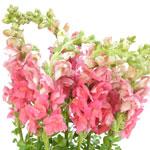 Light Pink Snapdragon Fresh Cut Flower