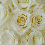 Snow Bliss Wholesale Roses