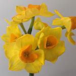 Bulk Yellow Daffodil Flower