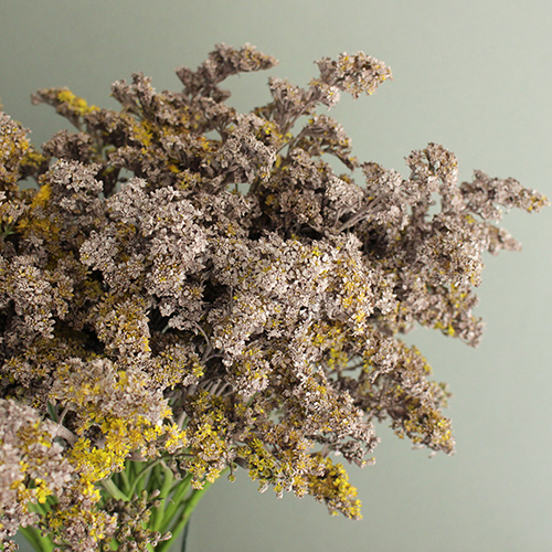 London Fog Tinted Solidago Wildflower