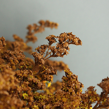 Cinnamon Bark Tinted Solidago Flower