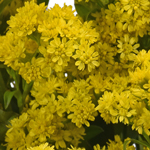 Yellow Aster Flower