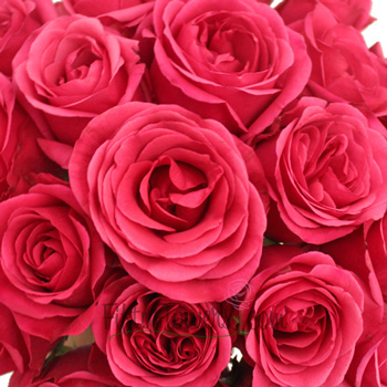 Solitaire Hot Raspberry Pink Rose