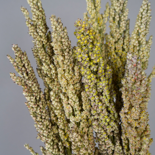 Sorghum Fresh Decorative Greenery