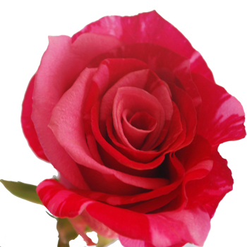 Red and Pink Sparkle Rose