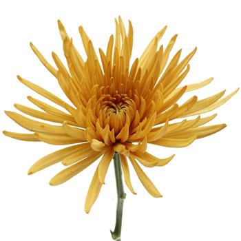 Brassy Yellow Spider Mum