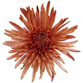 Copper Bronze Spider Mum