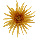 Super Yellow Bulk Spider Mum