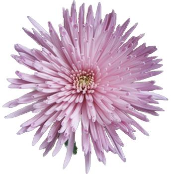 Spider Mum Lavender Flower