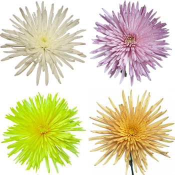Spider Mum Assorted Colors Flower