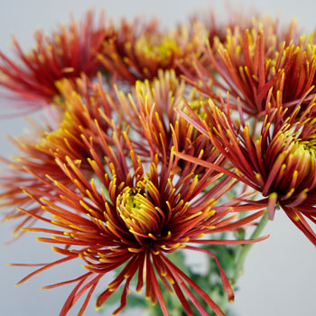 Autumn Rust Spider Mum