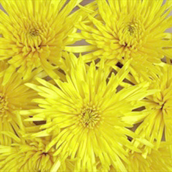 Spider Mum Yellow Flower