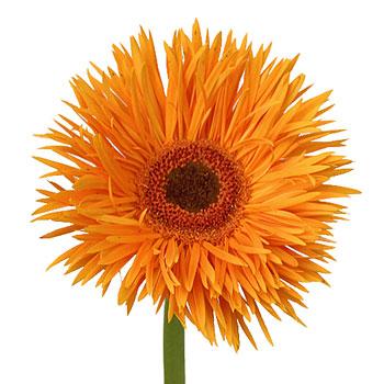 Orange Spider Gerbera Flower