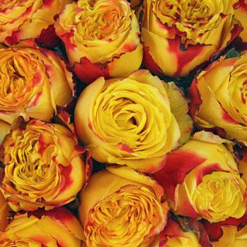 Wildfire Bulk Rose