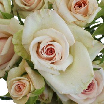 Porcelain Pink Spray Roses
