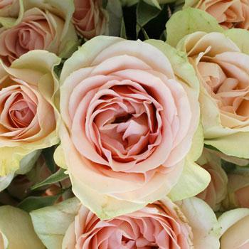 Creamy Pink Spray Roses
