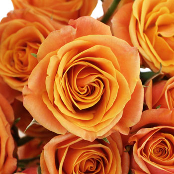 Golden Melon Spray Roses