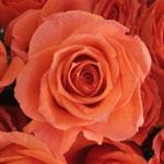 bulk orange spray roses