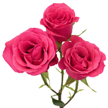 Hot Pink Petite Roses