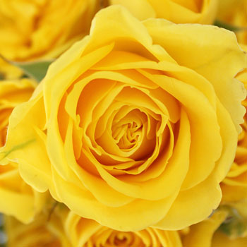Yellow Spray Bulk Roses