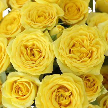 Monochromatic Yellow Mini Roses